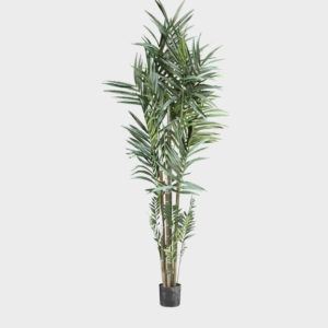 Tree-green-Kentia-Palm-in-Pot