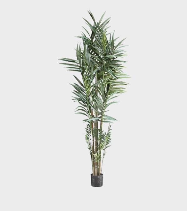 Tree-green-Kentia-Palm-in-Pot
